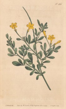 Jasminum Fruticans.