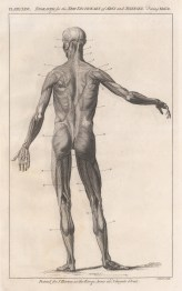 Myology: Posterior view of male figure.