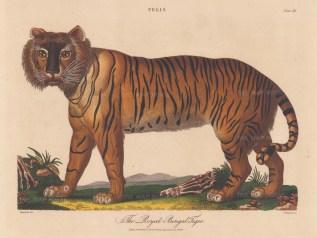 "Wilkes: Royal Bengal Tiger. 1810. An original hand coloured antique copper engraving. 11"" x 8"". [NATHISp8148]"
