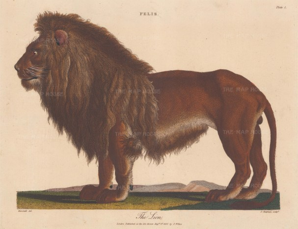 "Wilkes: Lion. 1810. An original hand coloured antique copper engraving. 11"" x 8"". [NATHISp8150]"