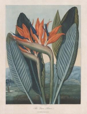Queen Flower: Bird of Paradise in an African landscape.
