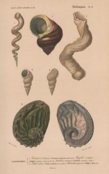 "d'Orbigny: Molluscs. Platypus. 1849. An original antique hand coloured lithograph. 9"" x 6"". [NATHISp8084]"