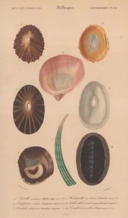 "d'Orbigny: Molluscs. Platypus. 1849. An original antique hand coloured lithograph. 9"" x 6"". [NATHISp8085]"