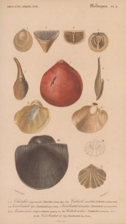 "d'Orbigny: Molluscs. Platypus. 1849. An original antique hand coloured lithograph. 9"" x 6"". [NATHISp8086]"