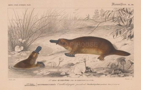 "d'Orbigny: Platypus. 1849. An original antique hand coloured lithograph. 9"" x 6"". [NATHISp8087]]"