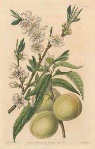 Plum: Flowering branch with greengage or damson plum. By Sarah Ann Drake.