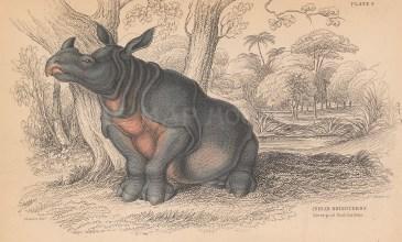"Jardine: Rhinoceros. 1843. An original hand coloured antique lithograph 6"" x 4"". [NATHISp8102]"
