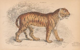 "Jardine: Tiger. 1843. An original hand coloured antique lithograph. 6"" x 4"". [NATHISp8104]"