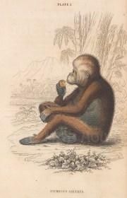 "Jardine: Orangutan: 1843. An original hand coloured antique lithograph. 6"" x 4"". [NATHISp8110]"
