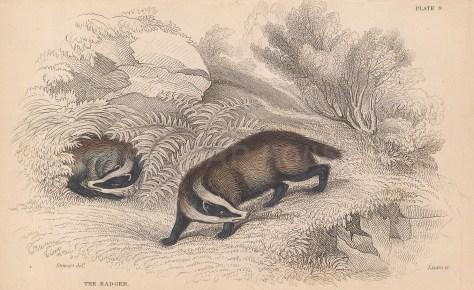 "Jardine: Badger. 1843. An original hand coloured antique lithograph. 6"" x 4"". [NATHISp8118]"