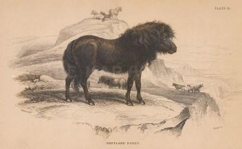 "Jardine: Shetland Pony. 1843. An original hand coloured antique lithograph. 6"" x 4"". [NATHISp8119]"
