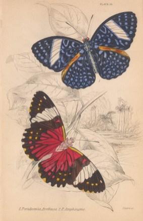 Cracker Butterflies: Blue cracker (Peridromia arethusa) and Red cracker (Peridromia amphinome).