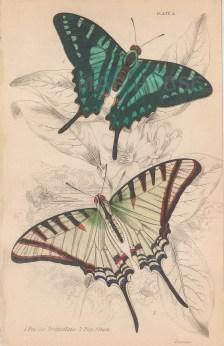 """Jardine: Butterflies. 1843. An original hand coloured antique lithograph. 4"""" x 6"""". [NATHISp8135]"""
