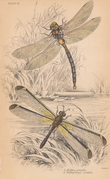Dragonflies: Brown Hawker (Aeshna grundis) and Silver lacewing (Stilbopteryx costalis).