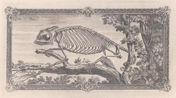 Animal Anatomy: Skeleton of a Chameleon with a decorative border.