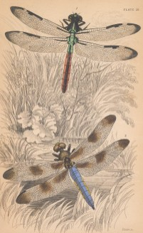 Dragonflies: Bar winged skimmer (Libellula axilena) and Twelve spotted skimmer (Libellula pulchella).
