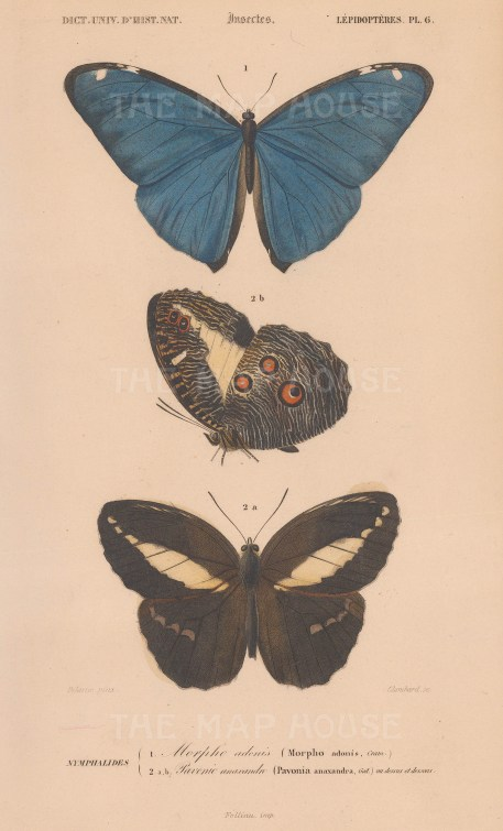 Butterflies: Morpho adonis and Pavonia anaxandra.