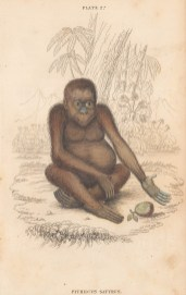 "Jardine: Orangutan: 1843. An original hand coloured antique lithograph. 6"" x 4"". [NATHISp8111]"