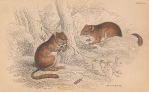 "Jardine: Dormouse: 1843. An original hand coloured antique lithograph. 6"" x 4"". [NATHISp8114]"