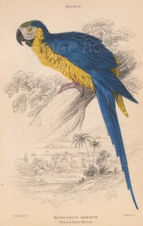 """Jardine: Blue and Yellow Macaw. 1843. An original hand coloured antique lithograph. 6"""" x 4"""". [NATHISp8121]"""