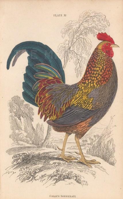 "Jardine: Indian Grey Junglefowl. 1843. An original hand coloured antique lithograph. 6"" x 4"". [NATHISp8124]"
