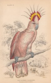 "Jardine: Tri coloured Crested Cockatoo. 1843. An original hand coloured antique lithograph. 6"" x 4"". [NATHISp8125]"