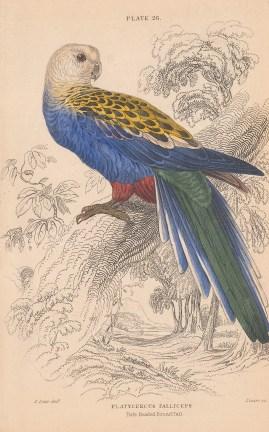 "Jardine: Pale headed Broadtail Lorikeet.1843. An original hand coloured antique lithograph. 6"" x 4"". [NATHISp8128]"