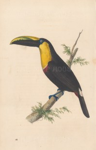 Doubtful Toucan: Ramphastos ambiguou from Brazil.