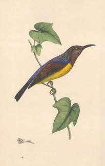 "Swainson: Javanese Creeper. 1833. An original hand coloured antique lithograph. 6"" x 9"". [NATHISp8153]"