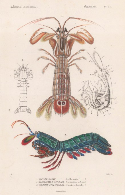 Shrimp: Mantis shrimp (Squilla mantis) with a Peacock mantis shrimp (Gonodactylus scyllarus).