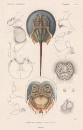 Crabs: Horseshoe crab (Limulus moluccanus) with anatomical details.
