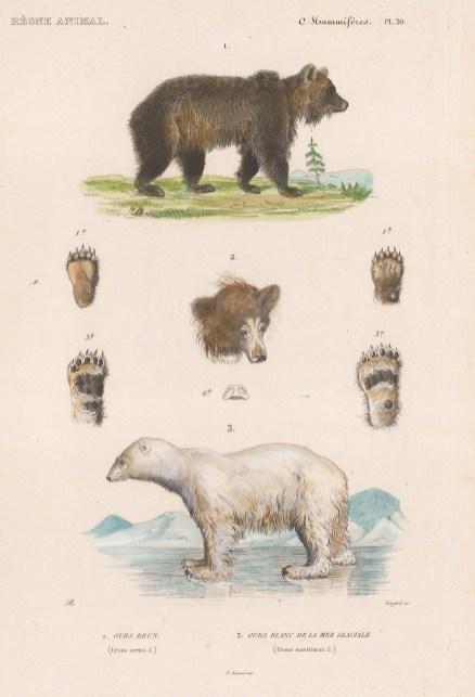 Bear: Brown Bear (Ursus arctos) and Polar Bear (Ursus maritimus) with detail of head, snout and paws.