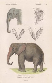 Elephant: Indian and African elephant with detail of head and trunk.