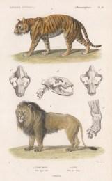 "d'Orbigny: Tiger and Lion. 1849. A hand coloured original antique lithograph. 6"" x 9"". [NATHISp8167]"