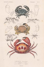 Crabs: Spotted Reef, Rock and Rubble crab (Cancer maculatus, exaratus, anaglyptus)
