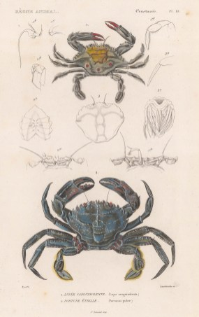 Crabs: Blood spotted swimming (Lupa sanguinolenta) and Velvet swimming (Portunus puber) crabs.