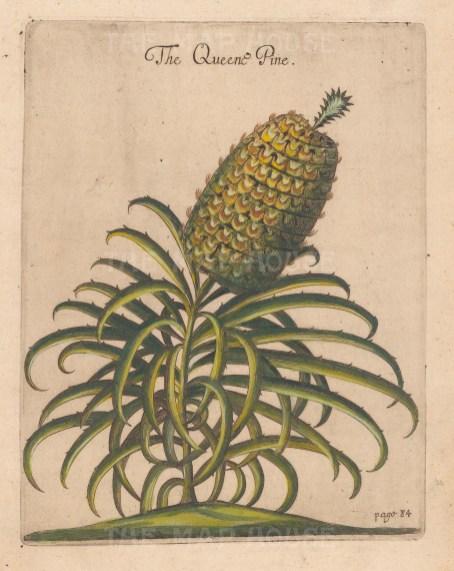 "Ligon: Pineapple. 1673 A handcolourd original antique copper engraving. 8"" x 8"". [NATHISp7879]"