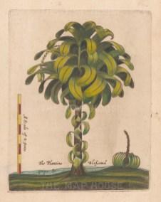 """Ligon: Plantain Tree. 1673 A handcolourd original antique copper engraving. 6"""" x 8"""". [NATHISp7880]"""