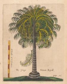 """Ligon: Palm Tree. 1673 A handcolourd original antique copper engraving. 6"""" x 8"""". [NATHISp7881]"""