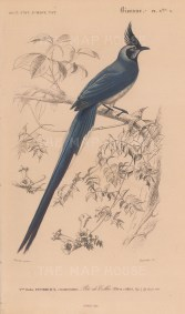 """d'Orbigny: Blackthroated Magpie. 1849. An original antique hand coloured lithograph. 6"""" x 9"""". [NATHISp8061]"""