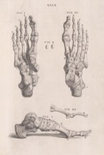 Foot: Bones of the foot with detail of the hallux and long toe. With key.