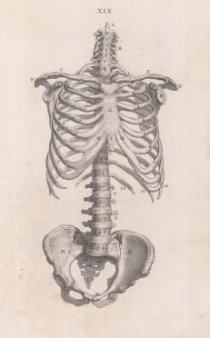 Skeleton: Anterior view of torso. With key.