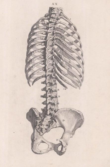 Skeleton: Posterior view of torso. With key.