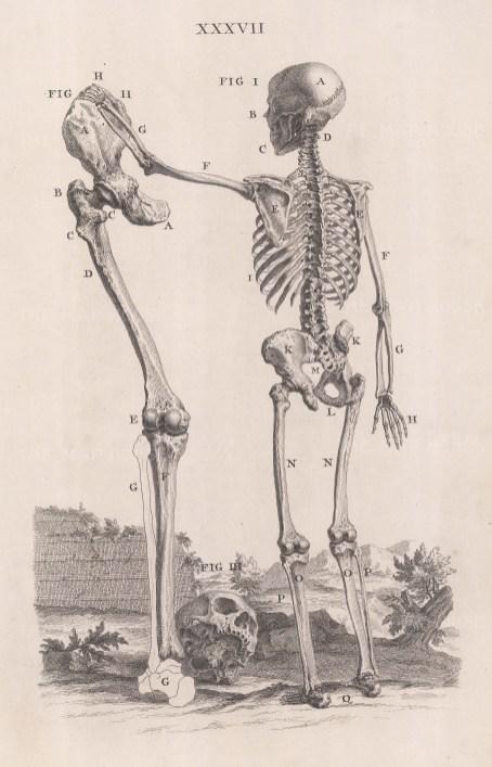 Skeleton: Posterior view of skeleton at 5ft5 with the femur, patella, tibia and fibula of a skeleton nearly 8 ft.