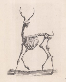 Animal Anatomy: Stag.