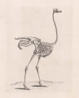 Animal Anatomy: Ostrich.