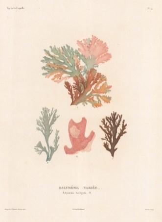 Rhodophyta (Halymenia Variegata): After Jean-Baptiste Bory de Saint-Vincent, naturalist on the voyage of La Coquille.