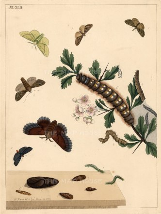 Harris: Moths and Caterpillars. 1772. An original colour antique copper-engraving. 10 x 12 inches. [NATHISp5248]