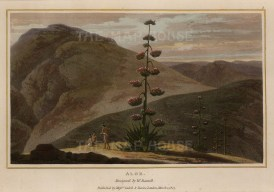 Daniell: Aloe. 1807. An original antique aquatint. 8 x 5 inches. [NATHISp6779]