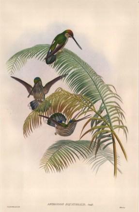 John Gould: Hummingbirds. 1887. An original hand-coloured lithograph. 13 x 19 inches. [NATHISp6640]